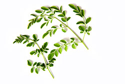 foglie verdi di pianta accelera metabolismo su sfondo bianco