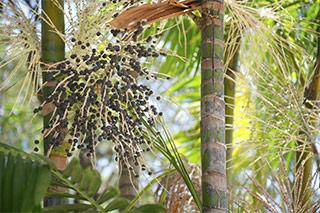 bacche di acai viola sulla pianta di acai in una foresta tropicale