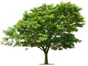 albero di baobab verde gigante su sfondo bianco e