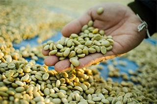 chicchi di caffè verde raccolti dalla mano di un uomo