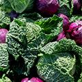 verdura di cavolo verde in mezzo a cavoli viola su sfondo naturale