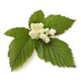 Cinque foglie verdi con un fiore bianco al centro. Lo sfondo è bianco