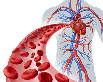 grafica che spiega sul corpo umano come funziona la circolaizone sanguigna