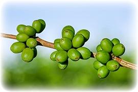 frutto di caffè verde green coffee su ramo di albero