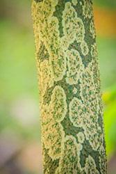 tronco con corteccia maculata di albero di konajc