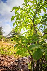 albero di konajc in un campo o giardino con piante coltivate