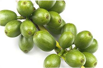 chicchi di green coffee caffè verde su ramo di albero