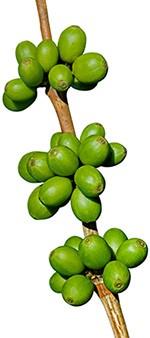 frutti di caffè verde freschi attaccati a un ramo di albero