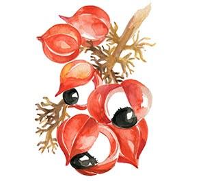 immagine grafica fiore di guarana su ramo di albero