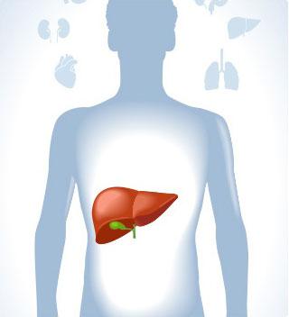 immagine corpo umano evidenzia a colori il fegato e organi attorno
