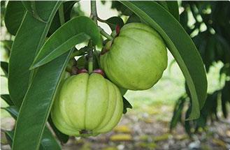 due zucche verdi di garcinia cambogia sotto un ramo verde