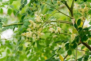 albero di moringa in un campo o giardino con piante coltivate