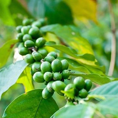 Come sfruttare Green Coffee per dimagrire