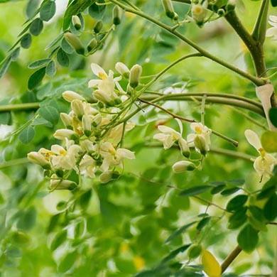Moringa Oleifera: che cos'è e come si assume